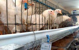 Criaderos de gallinas y salmonella