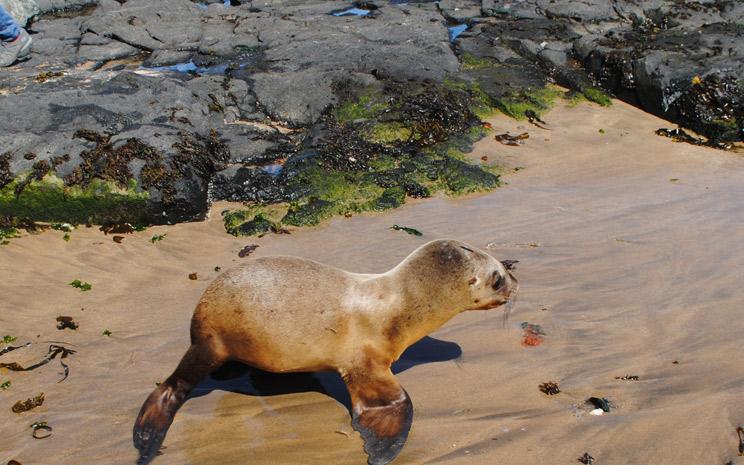 Liberación de cría de lobo marino