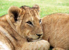 En un corto periodo de tiempo, dos situaciones dramáticas han ocurrido en el Zoológico Metropolitano que culminaron con el sacrifico de maravillosos animales.