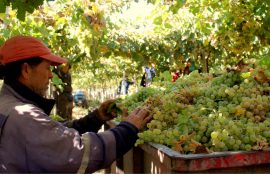 Trabajador revisa uvas tras recogerlas de plantación de vides.