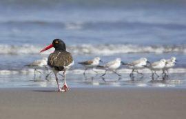 Atlas de Aves Nidificantes de Chile