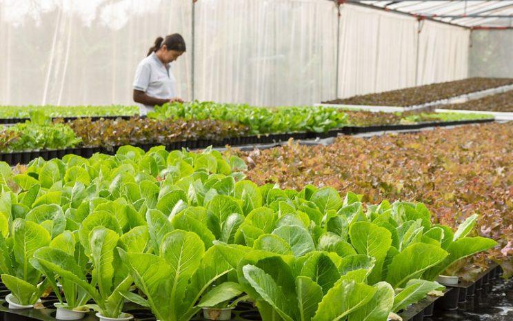 Hojas de cultivo hidropónico y una agricultora.