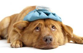 Envenenamiento de perros