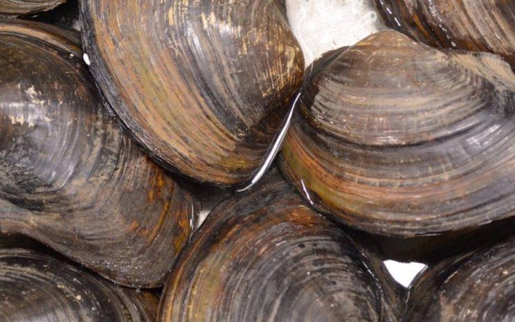 moluscos chilenos ciicc
