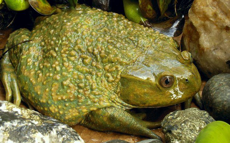 rana grande chilena